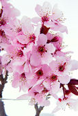 Sakura blossom樱花盛开 — 图库照片