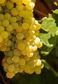 Growing golden grape. — Stock Photo
