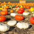 Pumpkin patch in California. — Stock Photo
