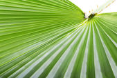 Palm leaf. — Foto de Stock