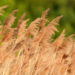 Reed — Stock Photo #21305561