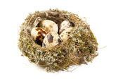 Quail eggs in a nest on white background — Stock Photo