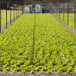 Stock Photo: Rows of Lettuce