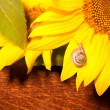 Snail on sun flower — Stock Photo