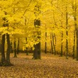 Autumn landscape of a forest with yellow leaves — Stock Photo