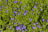 Purple flowers on green leaves background — Stock Photo