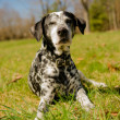 Dalmatidog — Stock Photo #25244097