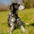 Dalmatidog — Stock Photo #25244113
