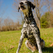 Dalmatidog — Stock Photo #25244379