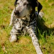 Stock Photo: Dalmatidog