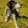 Dalmatidog — Stock Photo #25244657