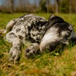 Dalmatidog — Stock Photo #25244891