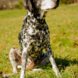 Dalmatidog — Stock Photo #25244913