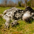 Dalmatidog — Stock Photo #25244943