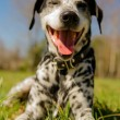 Dalmatidog — Stock Photo #25245047