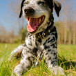 Dalmatidog — Stock Photo #25245093