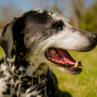 Dalmatidog — Stock Photo #25245123