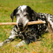 Dalmatidog — Stock Photo #25245341