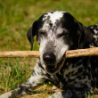 Dalmatian dog — Stock Photo