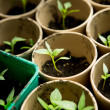 A bunch of baby plants growing inside of pots inside of a greenhouse nursery. — Stock Photo