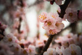 Closeup flowers of an apricot tree — Stock Photo