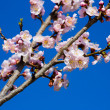 Flowers of an apricot tree on a blue background closeup — Photo