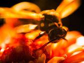 Wasp close up — Stock Photo