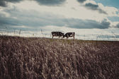 Cows on the meadow in autumn time — Stock Photo