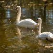 Swan Love. Two swans on a background of water — Stock Photo