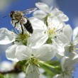 . Bee gathers honey on the white flowers of cherry — Stock Photo