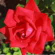 Scarlet beautiful blossoming rose against the green of the leave — Stock Photo