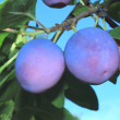 Large ripe plums on a tree branch against the blue sky. — Stock Photo #29388847