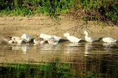Geese on the banks of the river preen their feathers. — Stock Photo