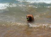 Juegos de perro en la orilla del mar en el agua. — Foto de Stock