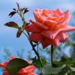 Beautiful blossoming rose against the blue sky. — Stock Photo