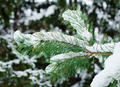 Pine branch, covered with snow. — Stock Photo