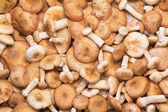 A large number of fungi honey fungus. — Stock Photo