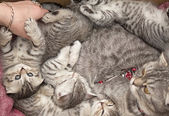 Beautiful pedigreed cat and her kittens. — Stock Photo