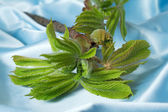 Young growing leaves on a chestnut branch. — Stock Photo