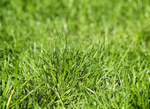 Young green grass on a lawn. — Foto Stock