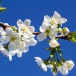 Branch of blossoming cherry against the blue sky. — Stock Photo #47253103