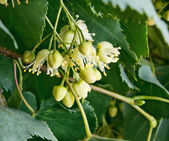 Linden flowers against green leaves. — Stock Photo