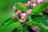Buds of flowers of an apple-tree and leaves on an apple-tree bra — Стоковое фото