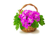 Basket with blossoming violets on a white background. — Photo