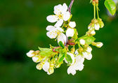 Branch of blossoming cherry against a green garden — Stock Photo