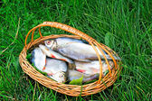 Wattled basket with the caught fish on the river bank. — Stock Photo