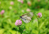 Butterfly black-veined white — Stock Photo