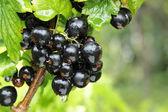 Black currant branch — Stock Photo