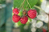 The ripe raspberry on the branch — Stock Photo