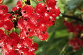 Redcurrant brunch — Stock Photo
